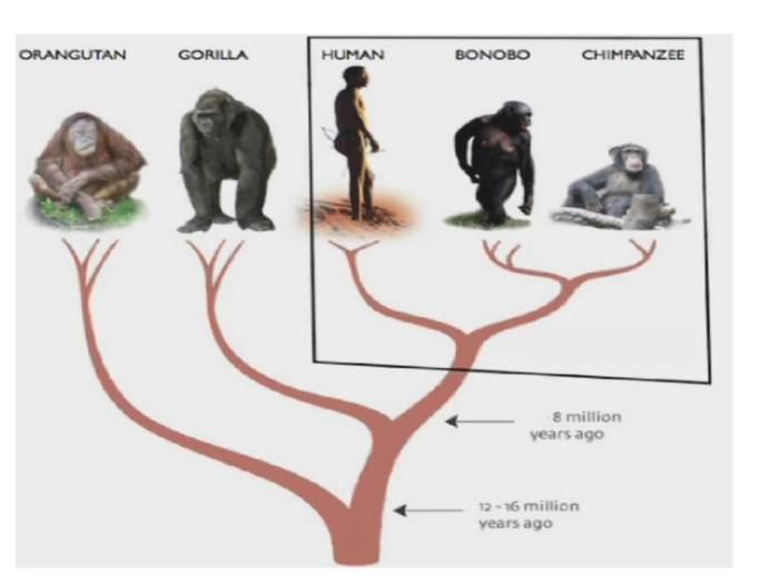 bonobotree
